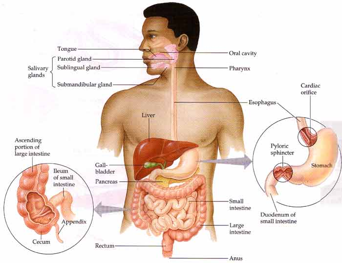 10 sure ways to improve your digestive system function now, Human Body