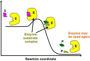 enzyme-photo-4