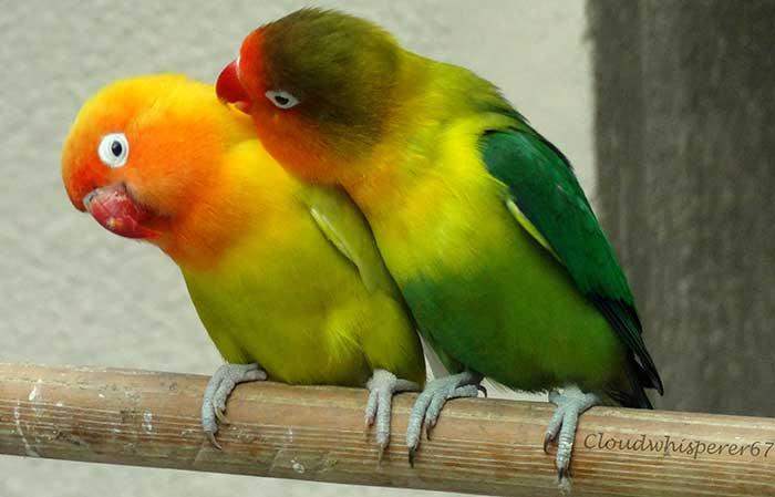 parrots-birds